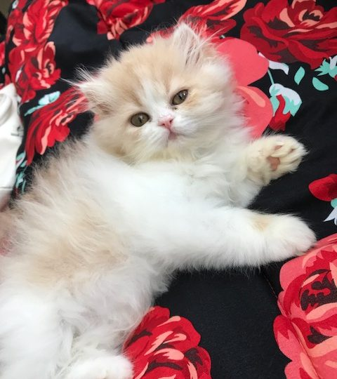 Cats, Persian cats